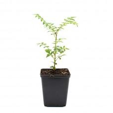 Sansho Tree (Zanthoxylum piperitum)