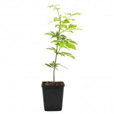 Szechuan Pepper Tree (Zanthoxylum bungeanum)