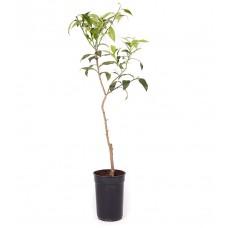 Yuzu Tree (Macrophylla)