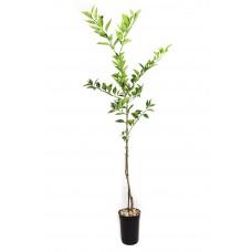 Sudachi tree