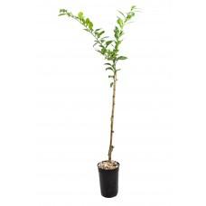 Hardy Yuzu Tree