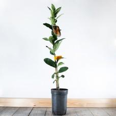 Buddha's Hand Tree (Citrus medica)