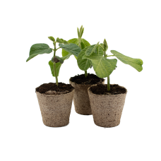 Edamame Bean Plants x 3