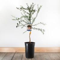 Finger Lime Tree (citrus australasica)