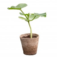 Green Kabocha Squash Plants