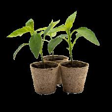 Shishito Pepper Plants x 3