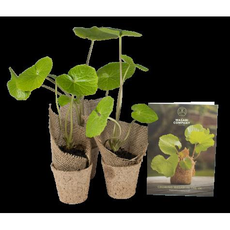 3 Wasabi Plants
