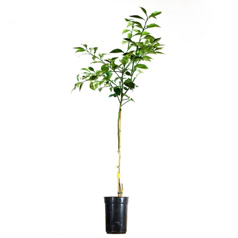 Yuko Tree