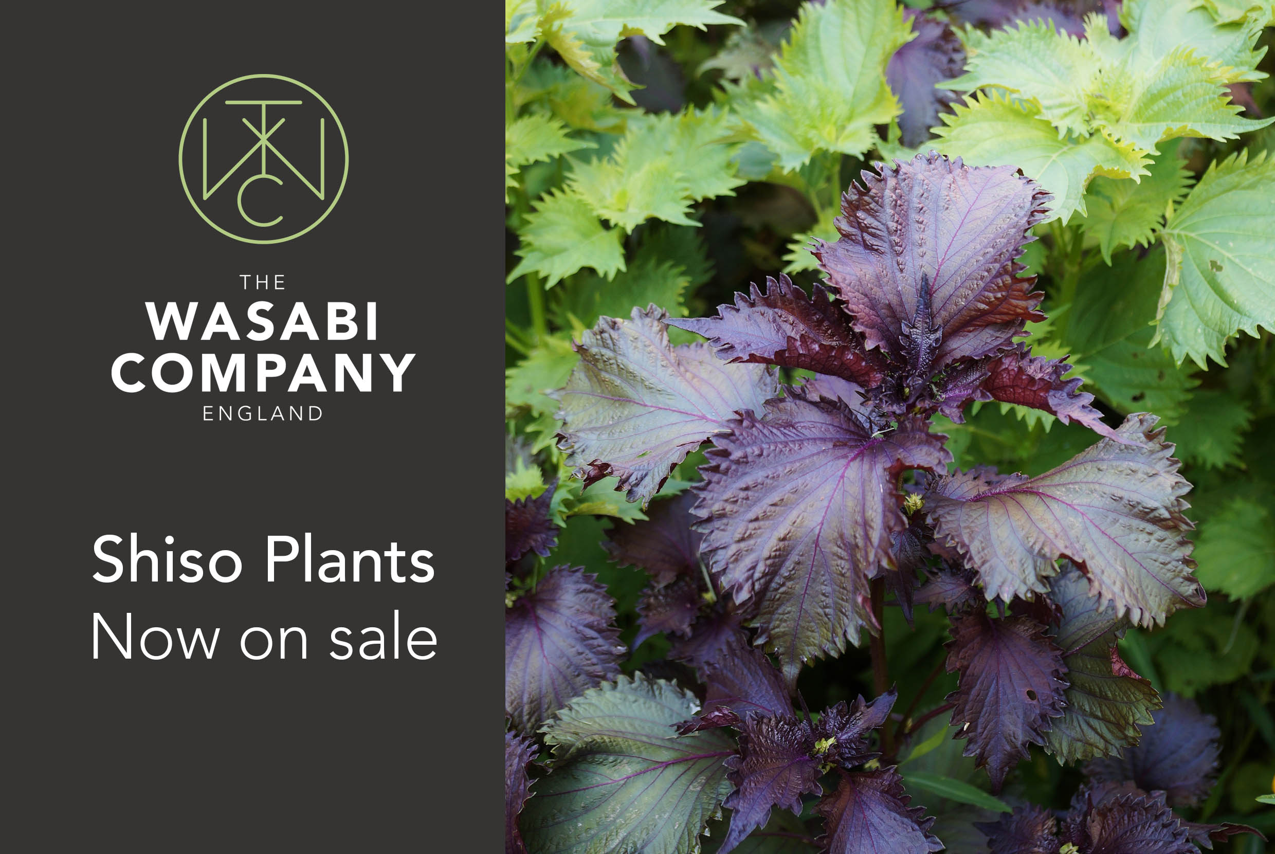 NEW! Shiso Plants - now on sale
