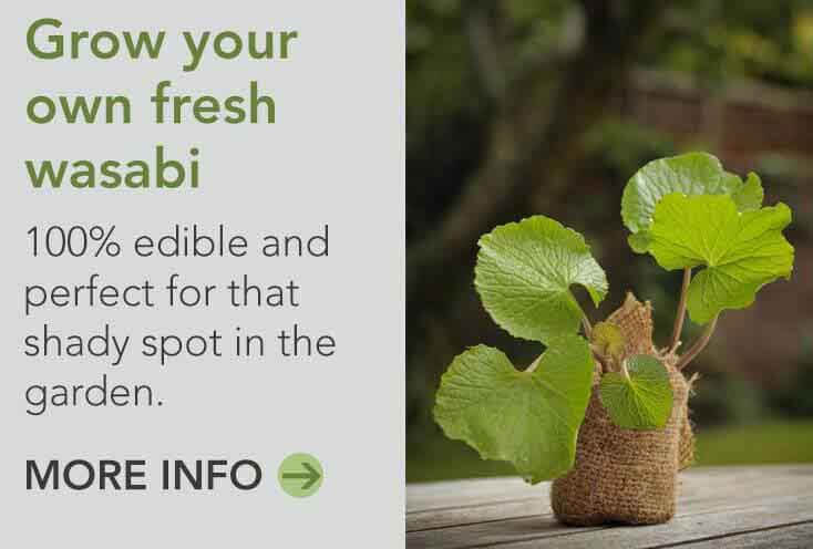 Wasabi plant grow your own