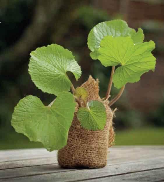 Fresh, British grown Wasabi  Grow Your Own  The Wasabi Company # Wasbak English_182340